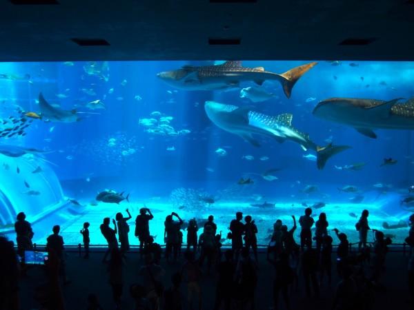 美ら海水族館といえばやっぱりこれ!ジンベエザメが泳ぐ国内最大の水槽「黒潮の海」